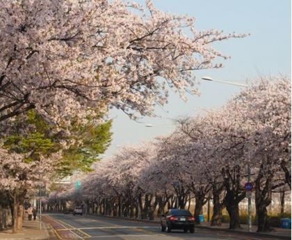 【韓櫻繽紛趣】賞櫻鞍山公園+汝夷島五日(含稅)